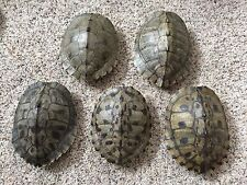 5 Real Turtle Shells - 7 - 8 inch Long - Map Turtle - Carapace Taxidermy