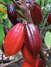 RED Cocoa / Theobroma Cacao  Fast Growing High Yield Live Plant - 1 nos