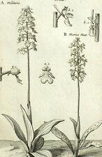 Orchis Morios mas, Satyrion Botanique Geoffroy Garsault Gravure XVIIIème