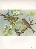 Bella Vintage Uccello Stampa ~Verdone Comune~ Maschio E Femmina