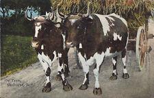 Postcard Canada Nova Scotia Shelburne Ox Team Oxen 1910-20s Near Mint
