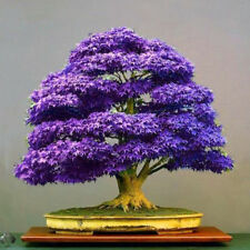 Purple Maple Seeds Bonsai Tree Japanese Maple Plant Mini Tree Seeds 20Pcs