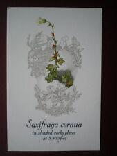 POSTCARD SAXIFRAGA CERNUA WILD FLOWER