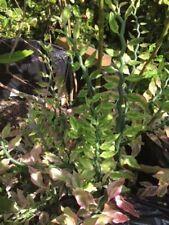 Devil's Backbone, Euphorbia-tithymaloides-variegata