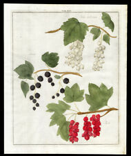 Antique Print-CURRANT-RIBES-Pomologia-Knoop-1758