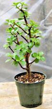 Mini Jade Bonsai - Prebonsai, Informal Upright, Great Start, 4in Pot, Nice!