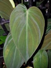 Philodendron hederaceum var. hederaceum - Aroid