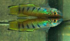 12 Eggs of Epiplatys infrafasciatus rathkei «Moliwe» (Rare Killifish)
