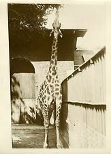 """GIRAFE du ZOO de LONDRES 1932"" Photo originale G. DEVRED / Agce ROL"