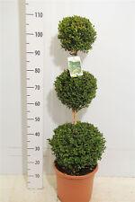 Buchsbaum 3er-Kugel , Buxus , Höhe: 100-110 cm, Formschnitt + Dünger