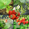 New 100pcs Red Strawberry Climbing Strawberry Fruit Plant Seeds Home Garden