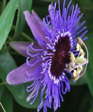 1X 3-4FT LARGE PASSIFLORA VICTORIA PASSIONFLOWER 3L EVERGREEN CLIMBING PLANT