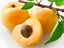 APRICOT TREE * Sweet & Delicious* 5-Finest Seeds*|*Hardy Variety*|*UK Seller*