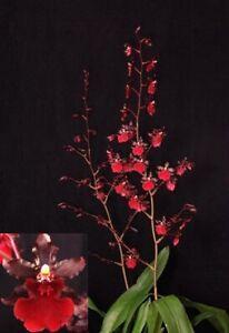 Orchid Odontocidium Succubus 'Night Shift'