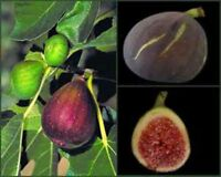BROWN TURKEY FIG SEEDS! SWEET! VERY HARDY AND LOTS OF FIGS! COMBINED S/H!