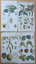WILHELM: Botanical Engraving Nut 4 Prints - 1810
