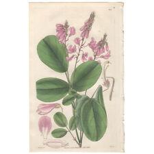 Curtis Botanical Magazine antique 1830 hand-colored engraving Pl 2960 Desmodium