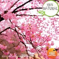 Pink Cherry Blossoms Seeds Plants Tree Climbing Sakura Perenial Flower 50pcs