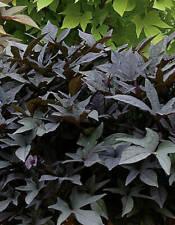 La bellissima imbuto venti è una particolarmente fantastiche Rank pianta!