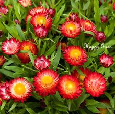 STRAWFLOWER Scarlet Red - 900 SEEDS  Helichrysum bracteatum - EVERLASTING FLOWER