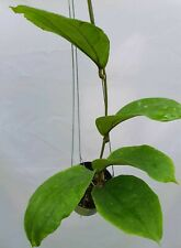 Hoya lambii [B22J1],1 pot rooted plant20-22 inches!