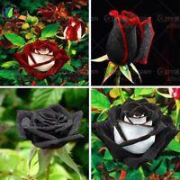 100 rare Black Rose Flower with Red Edge Seeds Bonsai