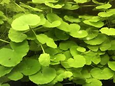 Brazilian Pennywort - Hydrocotyle leucocephala Live Aquarium Plant