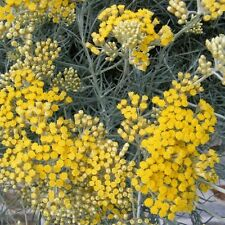 500 Graines de fleurs Immortelle d'Italie Herbe à Curry Méthode BIO hélichryse
