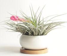 plant gift,cerimic pot with tillandsia houston as one set,USA free ship
