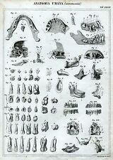 Anatomia:Osteologia: Denti.Odontoiatria.Medicina.Acquaforte.38.Passepartout.1866