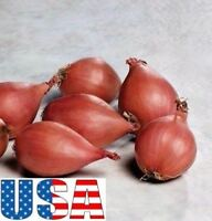 """(Grow Your Own) Red Ambition Shallots 100,200, 400 seeds """"""""Heirloom Non-GMO"""""""