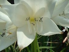 Crinum Lily, Jagus Rattrayii, medium-size bulb, NEW, rare vanilla scent