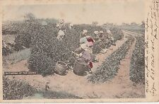 B81623 gathering of tea leaves types   japan  front/back image