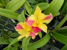 New listing Pot Roy's Magic 'Carmela' orchid plant (178)