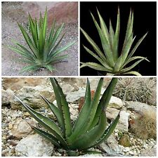 50 graines Agave lechuguilla ,seeds succulents F
