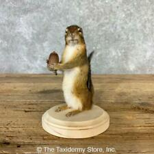 #23230 E+   Chipmunk Life-Size Taxidermy Mount For Sale