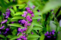 Garten Pflanzen Samen winterharte Zierpflanze Saatgut Baum LIEBESPERLEN-STRAUCH