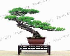 Evergreen 35 Japanese Pine Seeds Tree Bonsai Seeds Easy to Plant  1