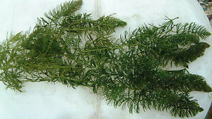 Bunch of Hornwort Pond Weighted Oxygenating Fish Tank Live Water Plant Weed