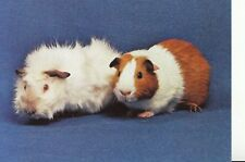 Animal Postcard - Two Guinea Pigs - The Good Companions - Ref AB3066