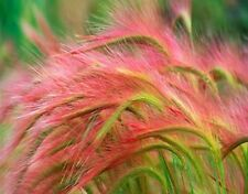 Foxtail Barley Ornamental Grass Seeds Rare Garden Flower Seeds Foxtail Grass New
