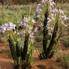 Xerophyta Retinervis - 20 Seeds - Black Stick Lily or Monkeys Tail