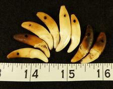 (8) Sioux Indian Drilled Canine Coyote Teeth Ornamental Beads Very Old!
