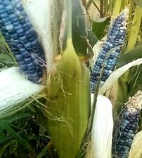 15 BLUE GLASS GEM CORN Ornamental & Edible Zea Mays Vegetable Seeds *Combined SH