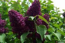 Syringa 'Monge' - Lilac - Fragrant - Starter Plant - Approx 5-7 Inch - Dormant