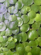 15+ Amazon Frogbit Live Floating Aquarium Plants