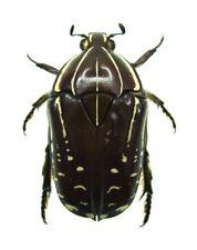 fruit beetle Rhabdotis sobrina SET x2 specimens Africa insect #j01