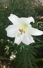 Tall White Easter Lily Seeds Fast Growers 100+ Seeds