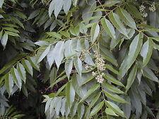 Toona ciliata RED CEDAR TREE Seeds! EXOTIC!