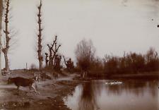 France, Vache près d un étang, ca.1895, Vintage citrate print vintage citrate pr